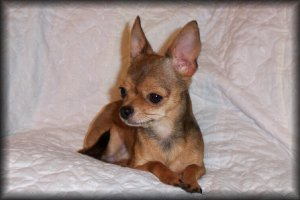 AKC Registered Chihuahua Breeder in Louisiana | The Paw Palace